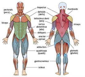 üst düzey vücut geliştirme programı